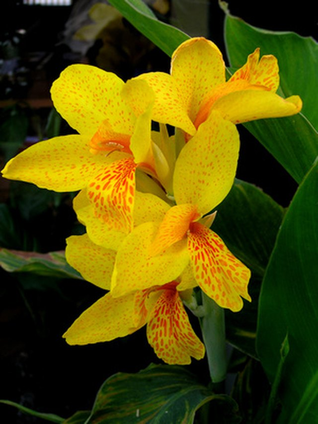 How to Get More Canna Lily Blooms | Hunker