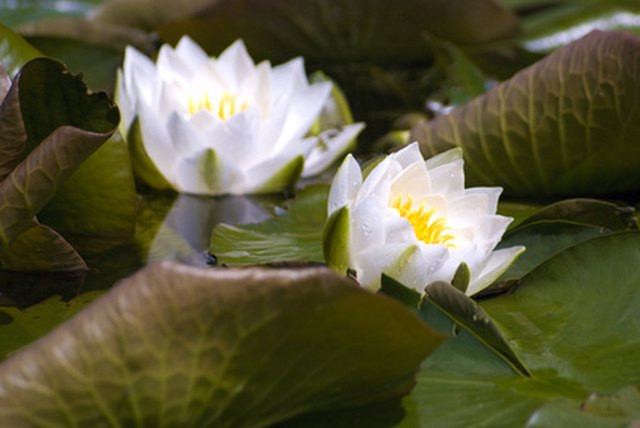 Uses of water lily flowers hunker pond decoration mightylinksfo