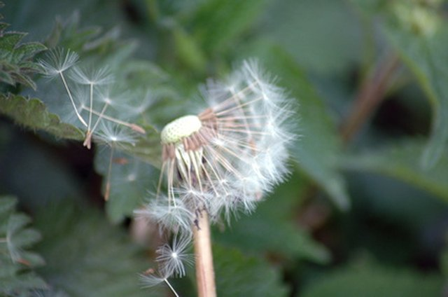 Why People Love To Blow The Dandelion Flower Hunker