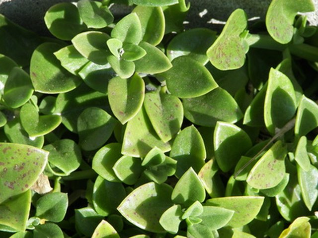 How Much Water Do Ice Plants Need? | Hunker