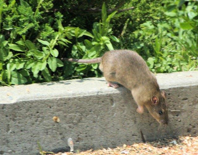 Natural Rat Poison | Hunker