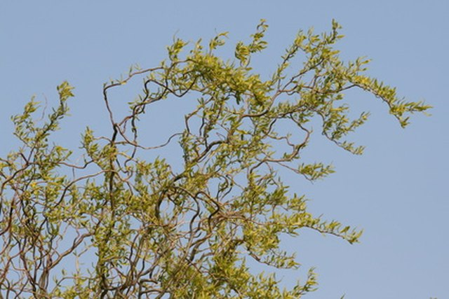 How to Care for a Corkscrew Willow Tree   Hunker