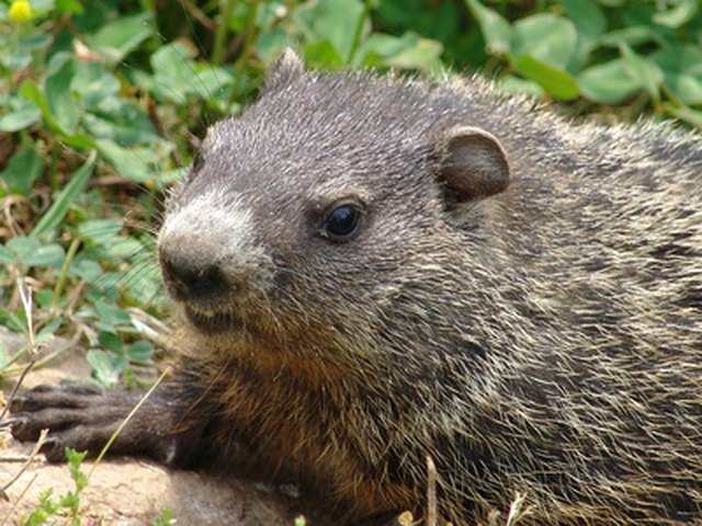 How To Use Epsom Salts To Keep Woodchucks Away From A Vegetable ...