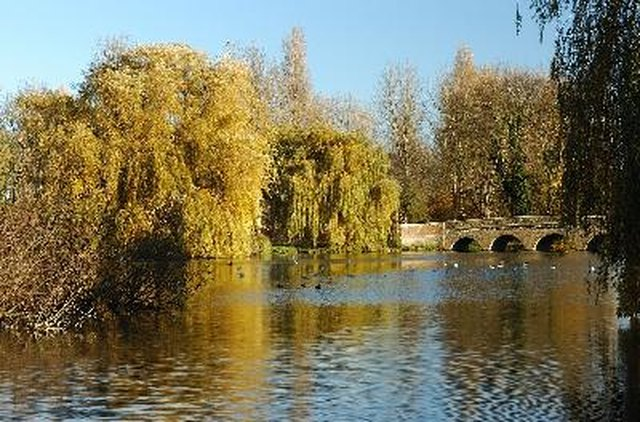 Weeping Birch Tree Facts   Hunker