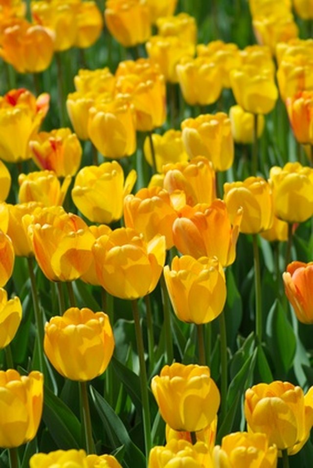 When do you plant tulip bulbs in texas hunker for Tulip garden in texas