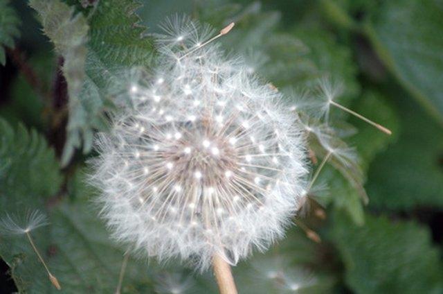 How Do Dandelion Seeds Get The Fluffy Amp White Look Hunker