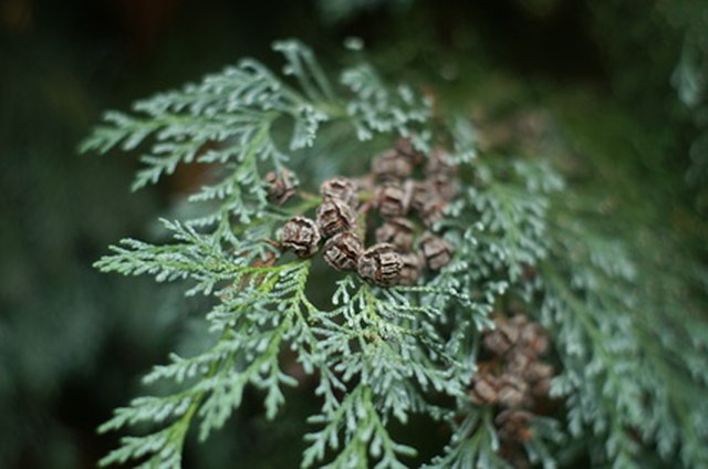 The Best Time to Plant a Leyland Cypress | Hunker