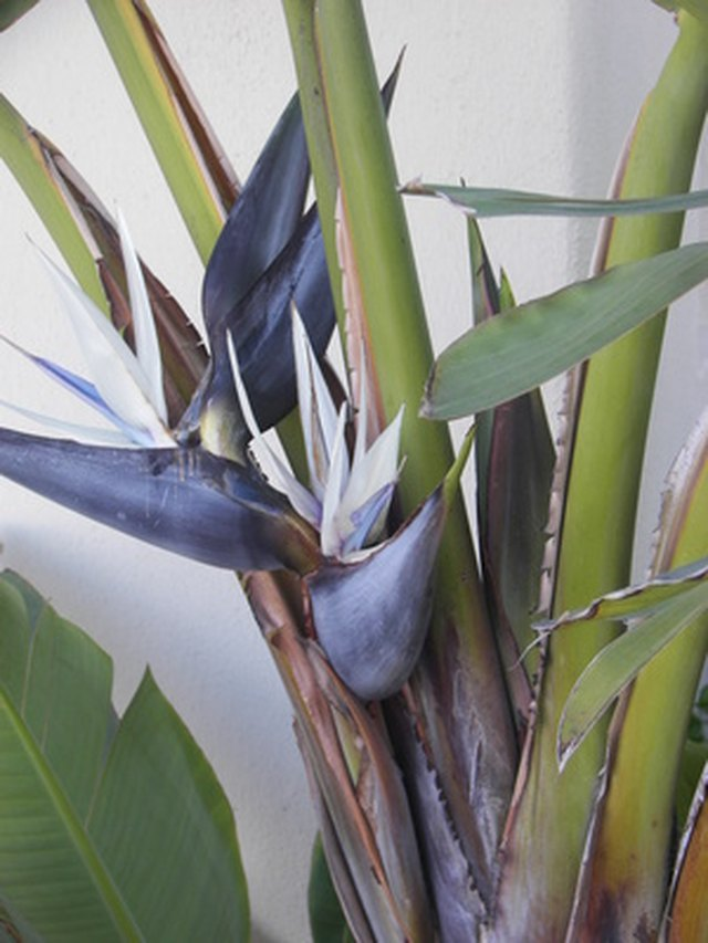 How to split a giant white bird of paradise plant hunker step 1 divide your giant white bird of paradise mightylinksfo