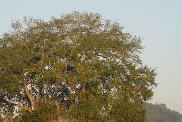 Oak Trees Of South Carolina Hunker