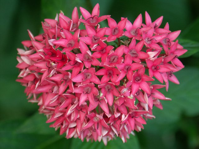 List of the names of plants with flowers shaped like stars hunker the pentas bears clusters of star shaped flowers mightylinksfo