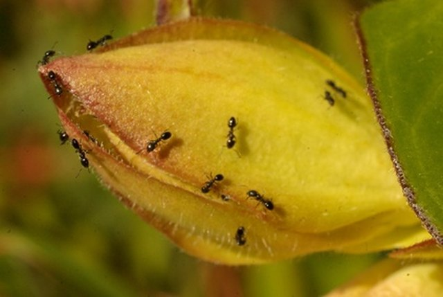 How to Kill Ants With Corn Starch   Hunker