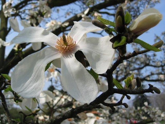 Alabama Flowering Trees | Hunker