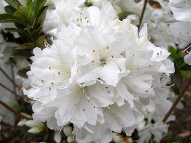 Azalea flower colors hunker uses mightylinksfo