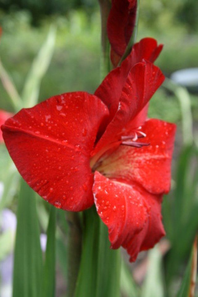 How To Keep Gladiolus From Falling Over Hunker