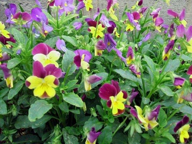 Flowers That Look Like Pansies | Hunker
