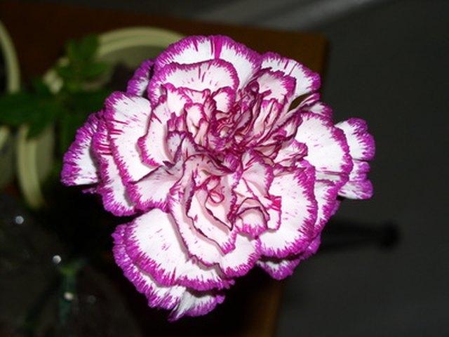How Do Flowers Absorb Dye Hunker