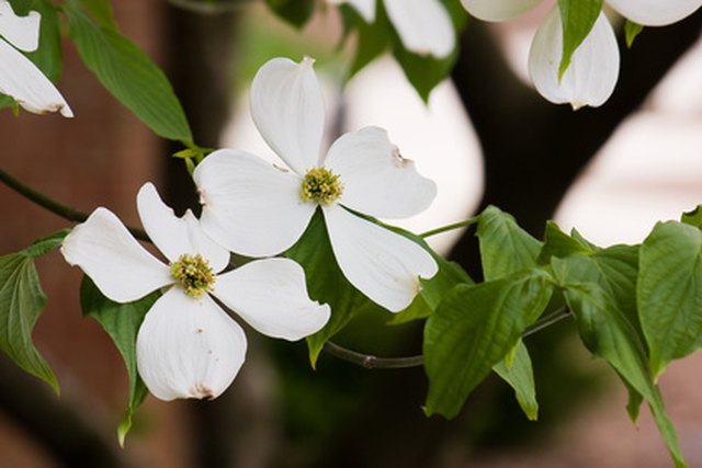How To Grow Dogwood Trees In A Pot Hunker