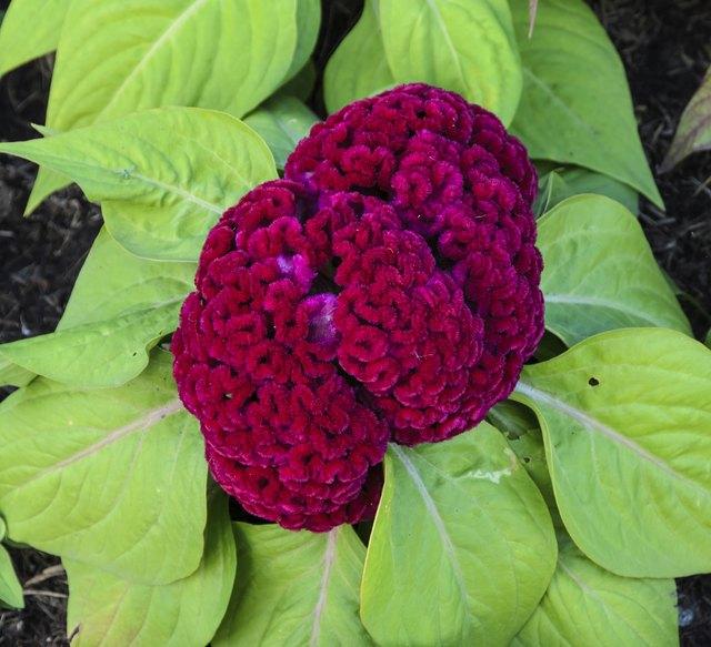 Red Cockscomb flower