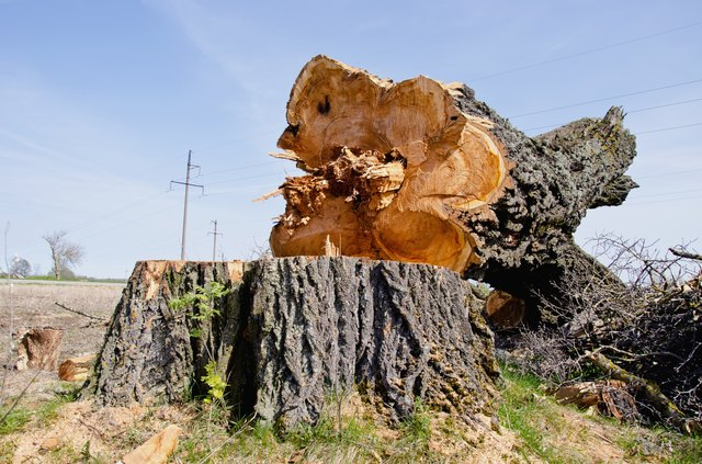 very old and big poplar tree slice