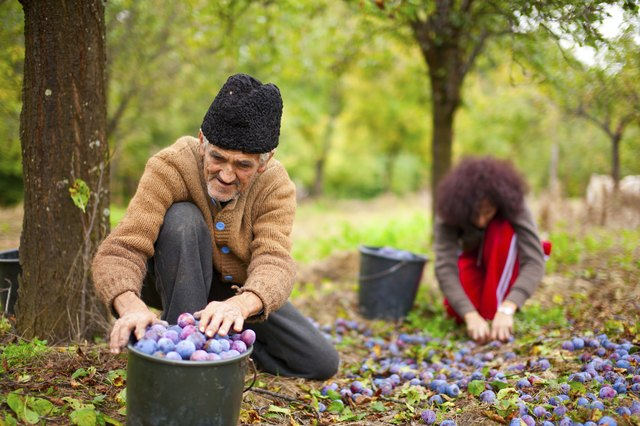 Senior farmer and his daughter picking plums