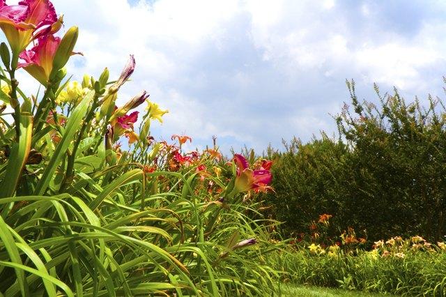 Daylily Fields