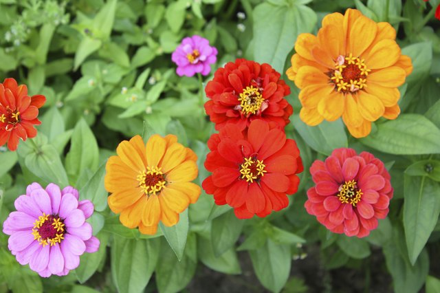 Are Zinnia and Dahlia Flowers Similar? | Hunker