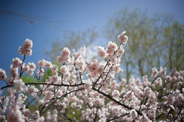 Apricot blossom in Pakistan