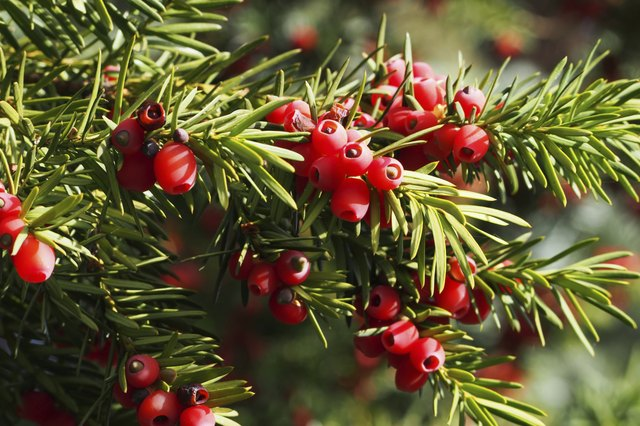 Yew branch with berries