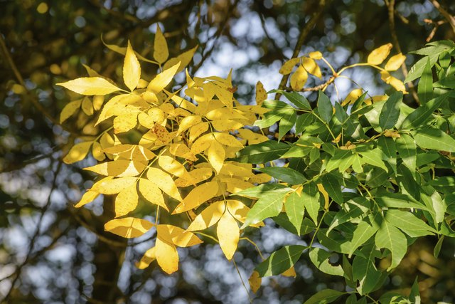 Autumn Ash Tree Leaves Under the Sun