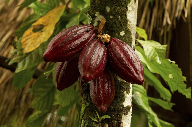 Cocoa fruit 1