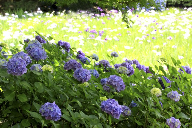 Hydrangeas in Field