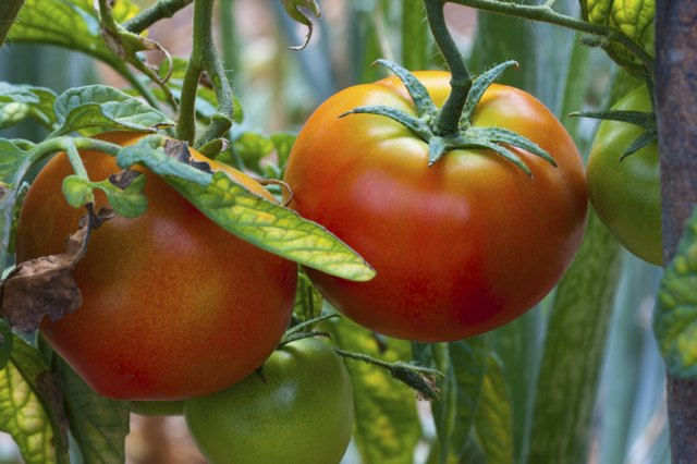 Why Are My Tomato Plants' Leaves Turning Yellow? | Hunker