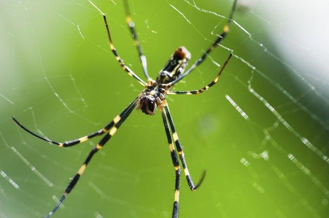 Are Black Yellow Garden Spiders Dangerous Hunker