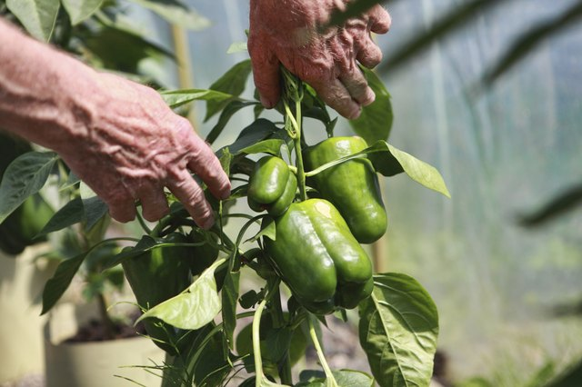 senior farmer examining green pepper bush with peppers