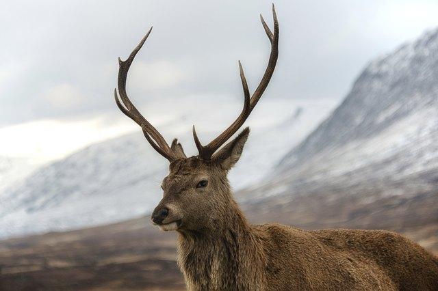 Scottish red stag