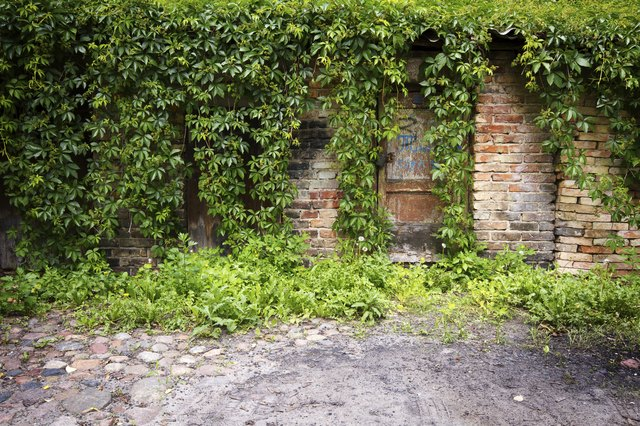 Old wall with ivy plant