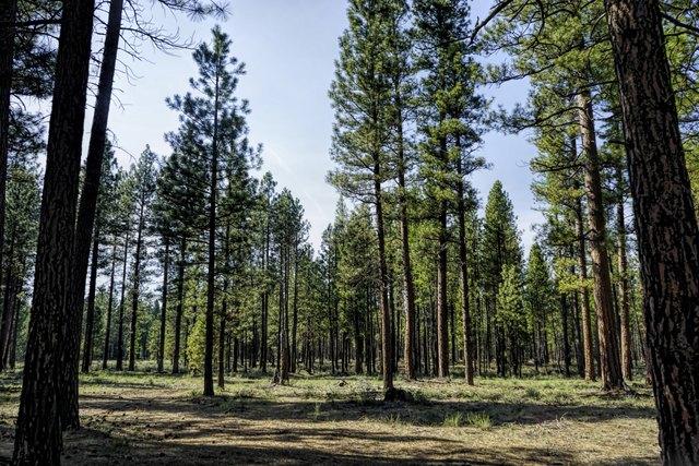typical ponderosa woods