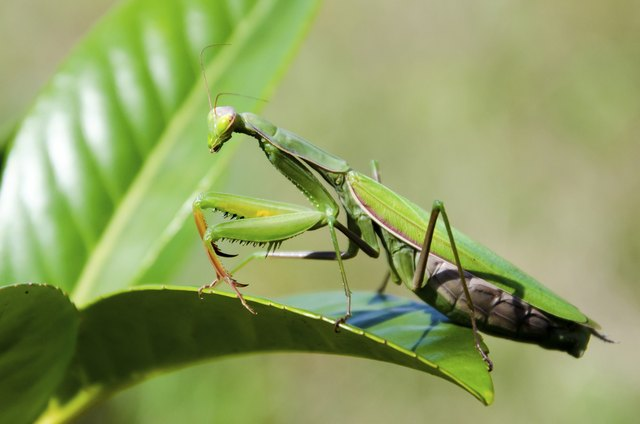 How to Kill a Mantis | Hunker