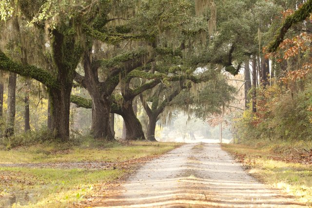 Live Oak Tree Lined Plantation Road Driveway