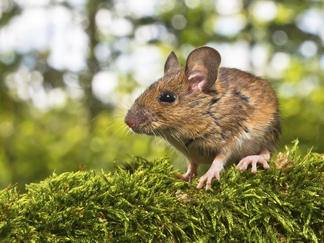 Side View of Head Field Mouse (Apodemus sylvaticus)