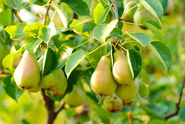 Green pear fruits on their branches