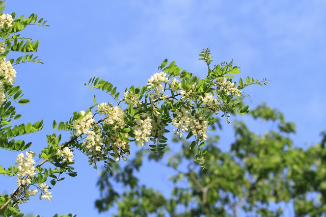 How to identify locust trees hunker locust blossom mightylinksfo