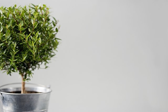 how to care for a eugenia topiary