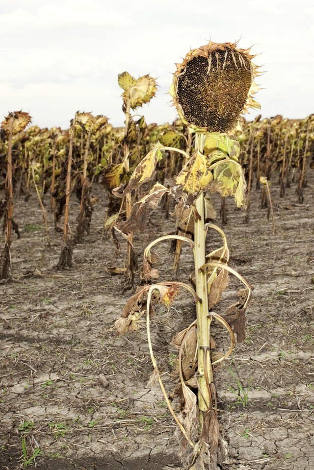 What To Do When A Sunflower Dies Hunker