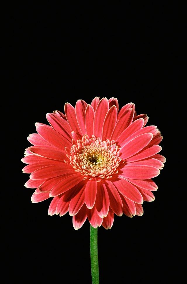 Studio shot of red chrysanthemum flower
