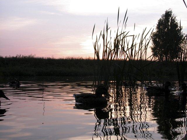 Duck on placid lake at sunrise