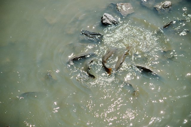 Fish swimming in shallow water