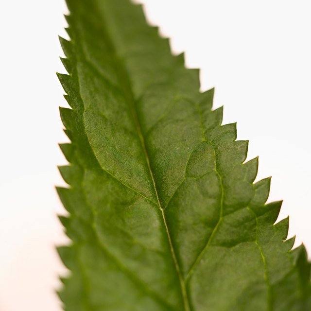 Close-up of a nettle