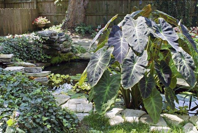 Garden Pond with Colocasia