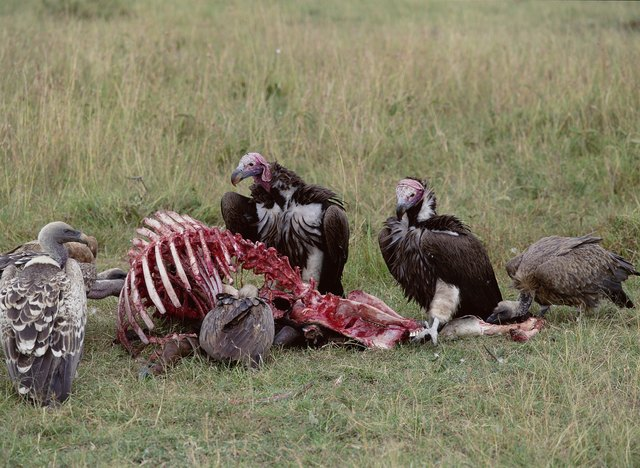 How To Get Rid Of Vultures Amp Buzzards Hunker